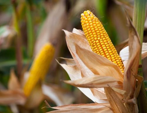 Intenzív növénytermesztés nem képzelhető el intenzív talajélet nélkül!