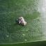 A kukoricamoly elleni védekezés jelentősége