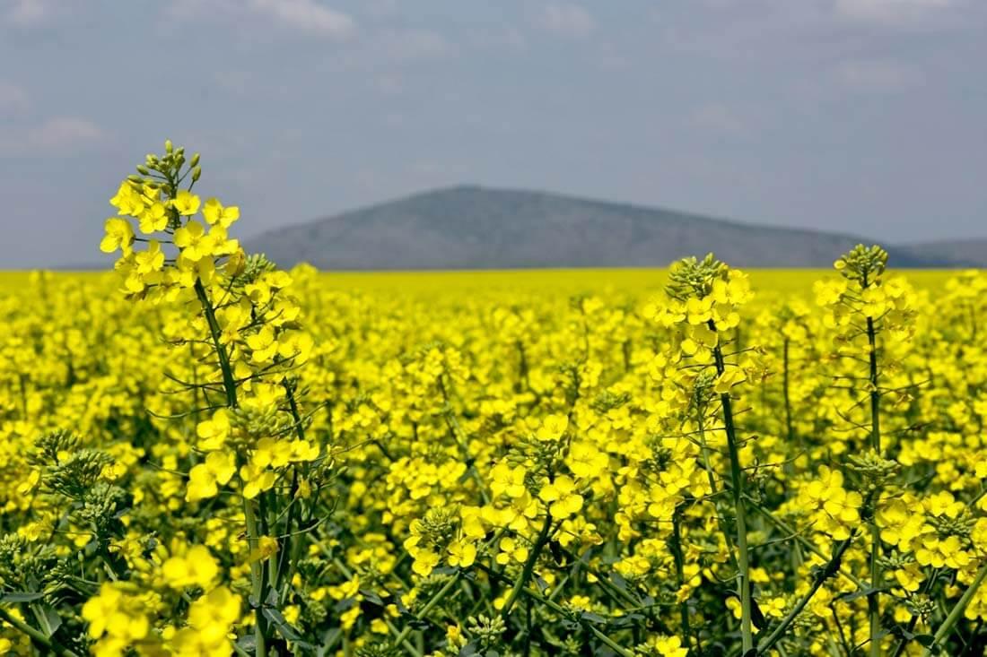 Phylazonit technológia a repce termesztésben