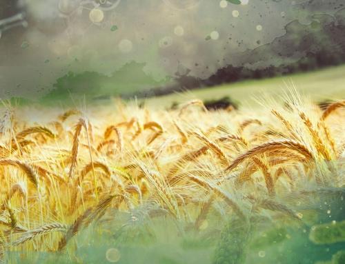 Phylazonit Technológia az őszi búza termesztésben