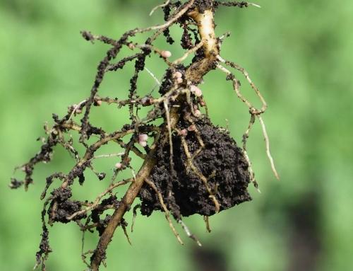 Baktériumok és a növények örök barátsága